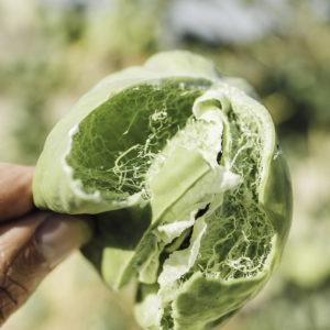Arara fruit